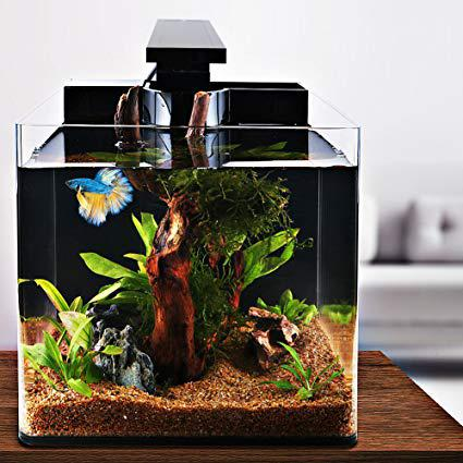 aquarium betta