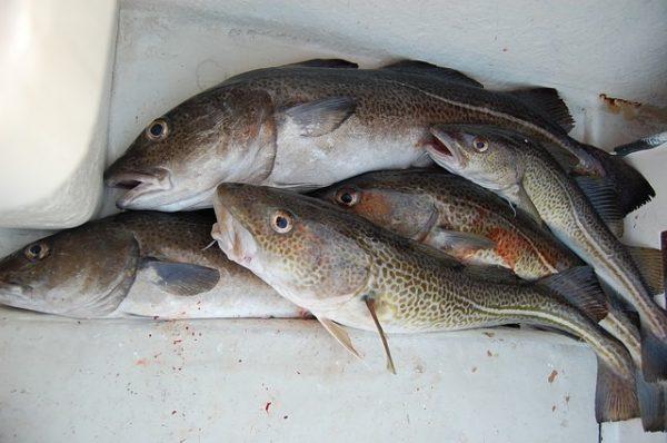 cabillaud poisson