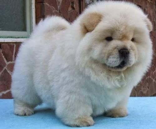chow chow pas cher