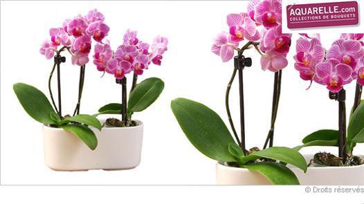 mini orchidée pas cher