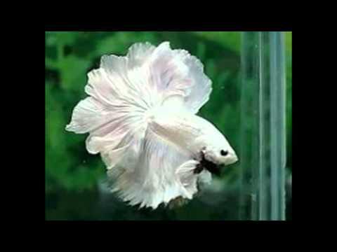 poisson combattant blanc
