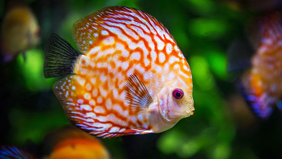quel poisson pour un petit aquarium